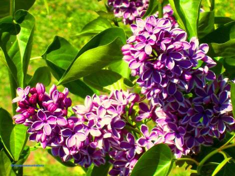lilacs blooming