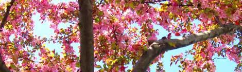 Japanese flowering plum tree
