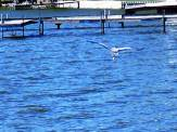 Great Blue Heron coasts over the choppy blue lake