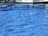 Great Blue Heron coasts over the choppy blue lake
