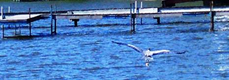 Great Blue Heron flying over lake