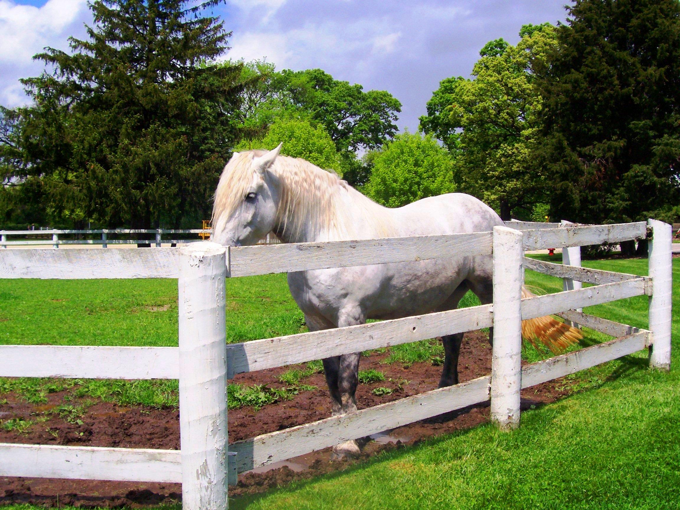 White horse white fence at equestrian center jpg