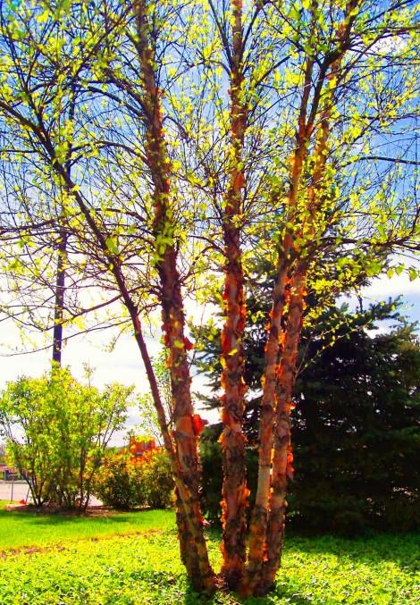 peeling birch tree