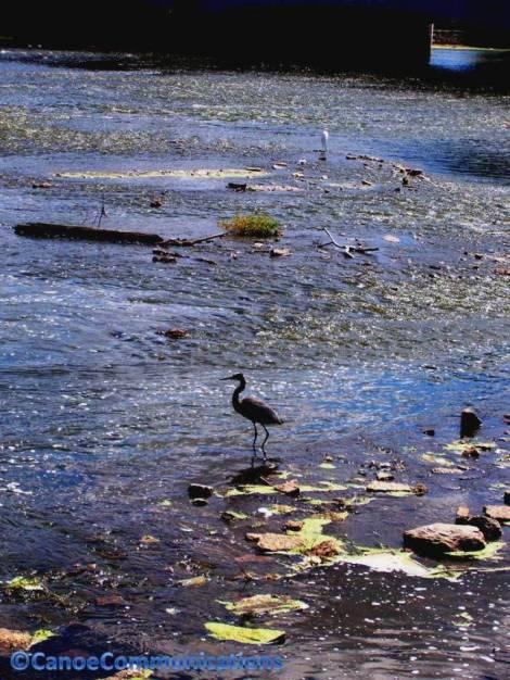 blue heron on river