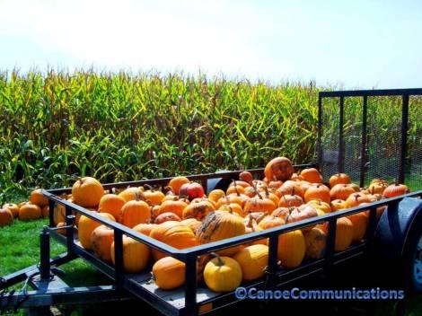 pumpkins and corn field