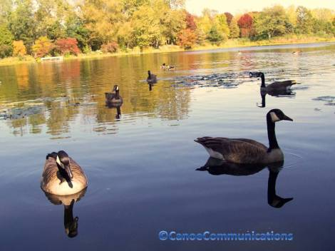Canadian geese in fall