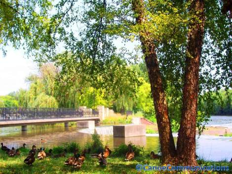 mallard ducks by a tree