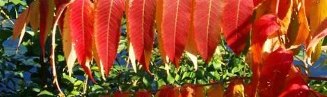 scarlet leaves