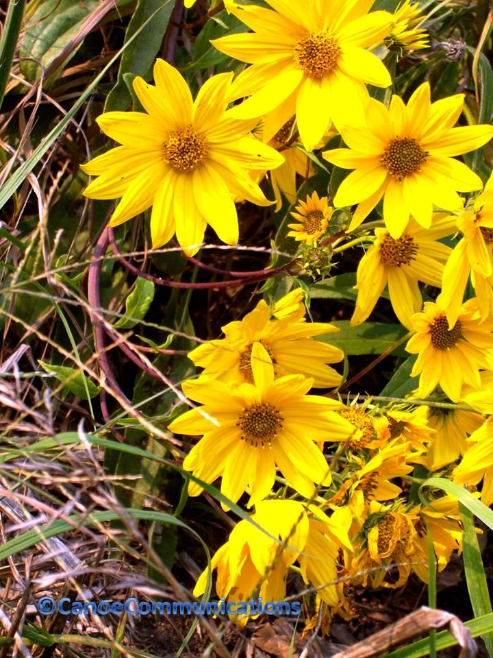 yellow fall flowers canoe communications