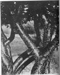Dancing trees by Stieglitz