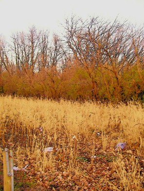 golden prairie