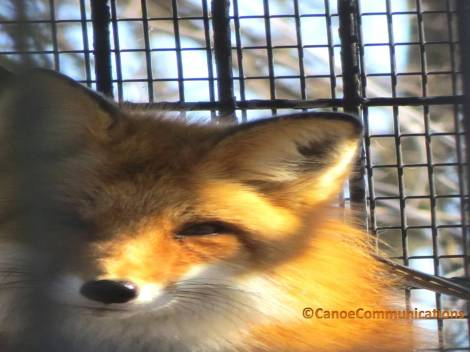 Willowbrook Wildlife Center red fox