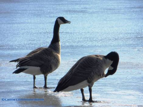 Canadian geese on blue lake