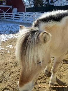 pony in winter