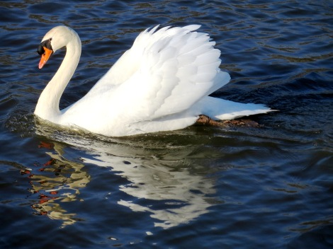 swan in motion