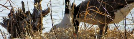 Canadian geese nest