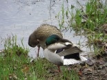 Mallard ducks on the bank