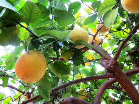 citrus fruit tree