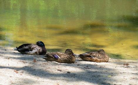 ducks roosting