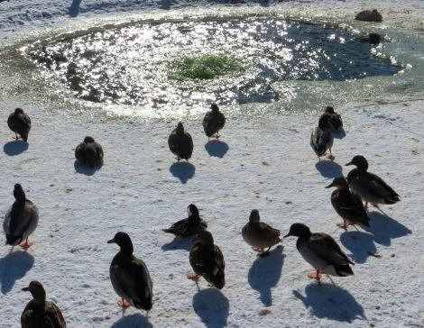 ducks on snow