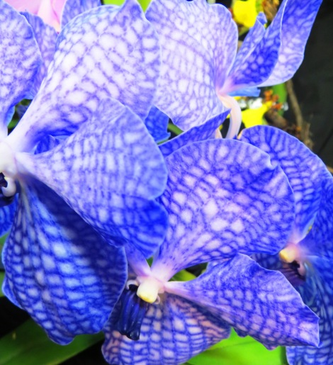 Vanda Sansai Blue Orchid Flower