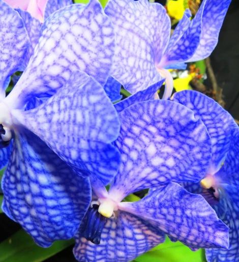 Vanda Sansai Blue Orchid Flower