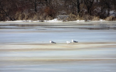 gulls on ice sheet