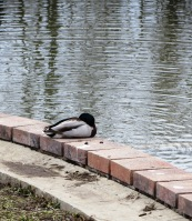 solitary duck