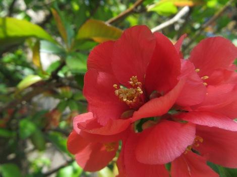 coral colored blossom