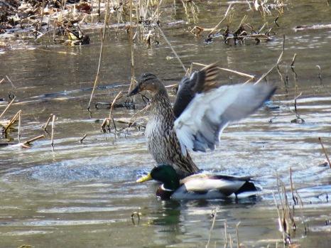 mallard duck hen