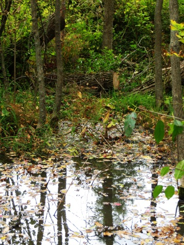 broken tree and forest pond