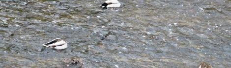 ducks bobbing