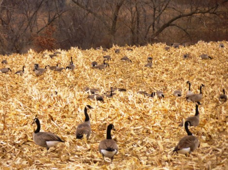Canadian Geese migration