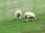 sheep on a hillside
