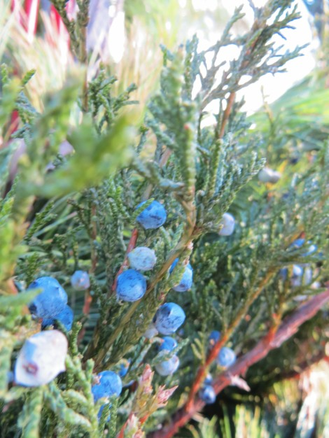 blue fir tree berries