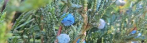 blue fir tree berries