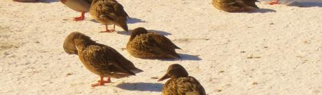 duck sunbathers