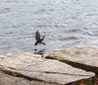 bird descends into water