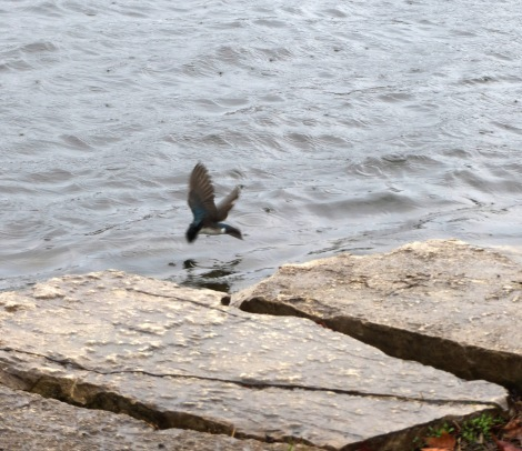 bird descends into water