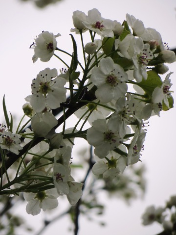 white blossoms on a tree