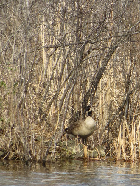goose blends in with background