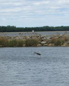 goose lands on lake