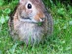 rabbit eating leaf