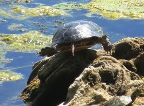 rock sliding turtle