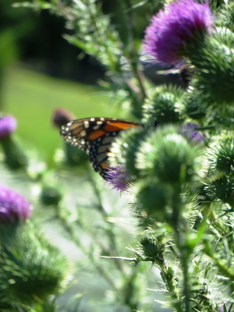 Monarch butterfly on a thistle