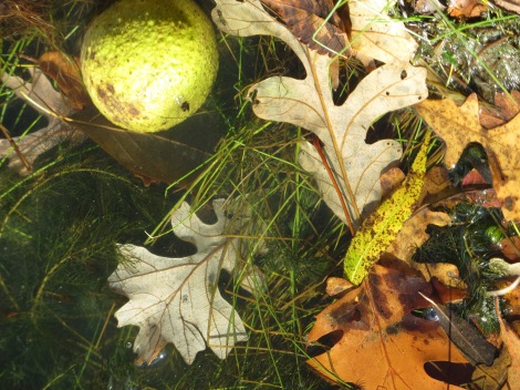 Osage orange and fall leaves
