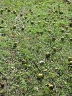 wild Osage oranges