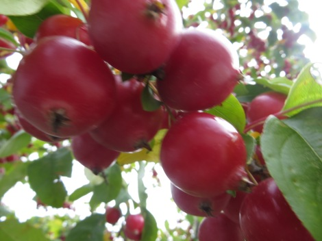 crab apple or plum tree