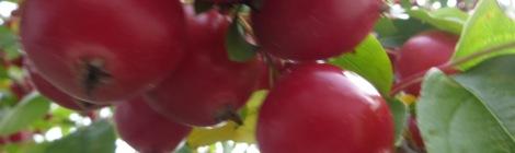 crab apple or plum tree