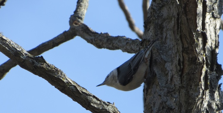 nuthatch or vireo